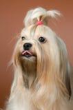 Lap-dog dans le studio photos stock