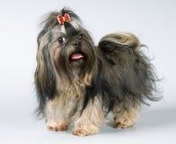 Lap-dog dans le studio photographie stock libre de droits