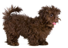 Lap-dog de couleur dans le studio photographie stock