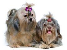 Lap-dog de deux couleurs dans le studio photographie stock libre de droits