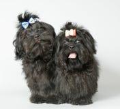 Lap-dog deux dans le studio photos libres de droits