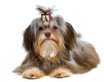 Lap-dog im Studio Lizenzfreie Stockfotos