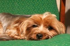Lap dog portrait Stock Images