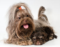 Lap dog with puppies Royalty Free Stock Images