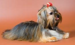 Lap-dog in studio Royalty Free Stock Photos