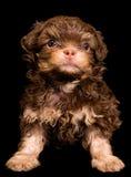 Lap-dog in studio Stock Photos