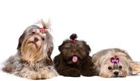 Lap-dog trois dans le studio image stock