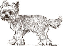 Lap dog. Vector drawing of the cute little dog royalty free illustration