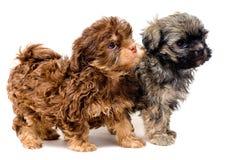 Lap-dogs dans le studio photo libre de droits