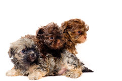 Lap-dogs dans le studio photos stock