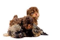 Lap-dogs dans le studio image stock