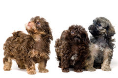 Lap-dogs in studio Royalty Free Stock Images