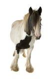 Lap paard op Stock Fotografie