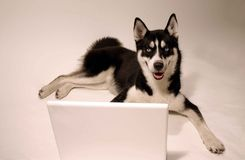 Lap top dog Stock Photos