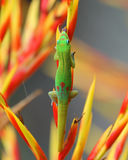 Lap it up. A Golddust Day Gecko lapping up insects from the flower of the bromeliad aechmea  blanchetiana Stock Photos