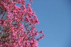 Lapacho cor-de-rosa Fotografia de Stock Royalty Free