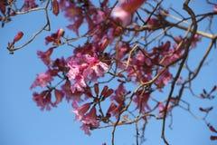 Lapacho cor-de-rosa Imagens de Stock Royalty Free
