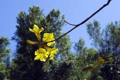 Lapacho jaune ou tenue de protection individuelle jaune Photographie stock libre de droits