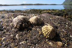 Lapas en una roca Foto de archivo