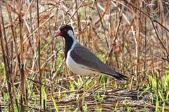 Lapbird Vermelho-wattled Foto de Stock