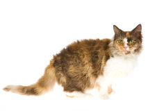 Laperm calico on white background Royalty Free Stock Image