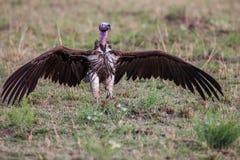 Lapet enfrentou aproximações do abutre uma carcaça, África Imagens de Stock Royalty Free