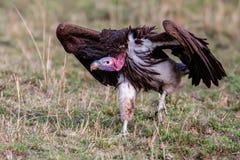 Lapet enfrentou aproximações do abutre uma carcaça, África Fotos de Stock Royalty Free