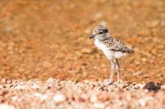 Lapewing chick at lake Stock Photography