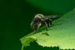 Laphria sacrator,食虫虻 免版税库存照片