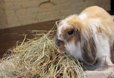 Lapin à la maison d'animal familier Photos libres de droits