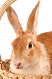 Lapin photographie stock