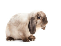 Lapin. Photographie stock