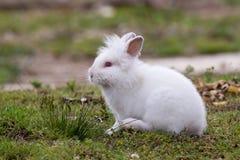 Lapin angora blanc se reposant dehors dans le sauvage Photo stock