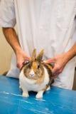 Lapin au vétérinaire Photo libre de droits