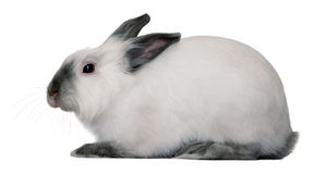 Lapin blanc Photo stock