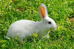 Lapin blanc photographie stock