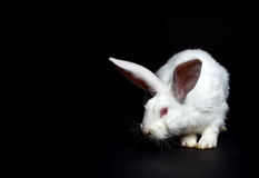 Lapin blanc photo stock