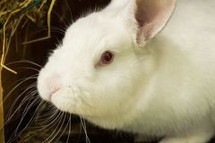 Lapin blanc Animal de laboratoire albinos du lapin domestique Photos stock