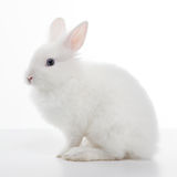 Lapin blanc d'isolement sur le blanc Photos stock