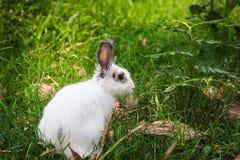 Lapin blanc dans l'herbe Arbre dans le domaine Photo stock