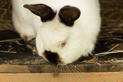 Lapin blanc Lapin dans la cage ou l'huche de ferme Concept de lapin d'élevage Images libres de droits