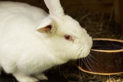 Lapin blanc Lapin dans la cage ou l'huche de ferme Concept de lapin d'élevage Photos stock