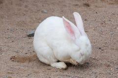 Lapin blanc dans la ferme photo stock