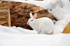 Lapin blanc dans la neige Photos stock