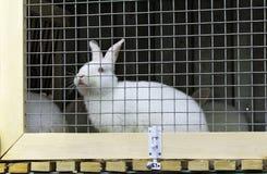 Lapin blanc dans une cage photo stock