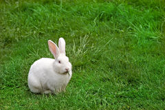 Lapin blanc mâchant l'herbe photo libre de droits