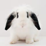 Lapin blanc mignon Photographie stock