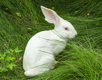 Lapin blanc sur l'herbe Images stock