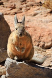 Lapin Bolivie de Viscacha Photo stock