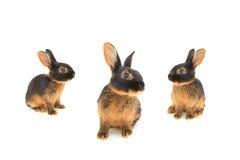 lapin brun Images libres de droits
